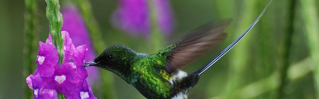 Green Thorntail, Costa Rica, Caligo Ventures