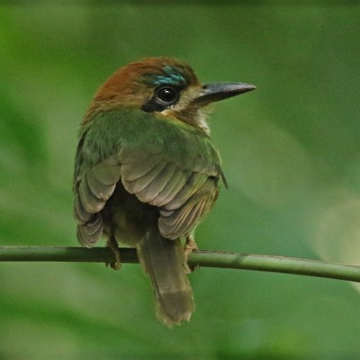 Tody Motmot, Belize, Caligo Ventures