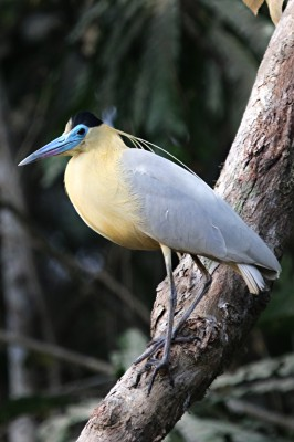Capped Heron, Panama, Caligo Ventures