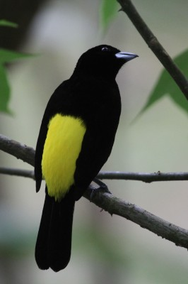 Lemon-rumped Tanager, Panama, Caligo Ventures