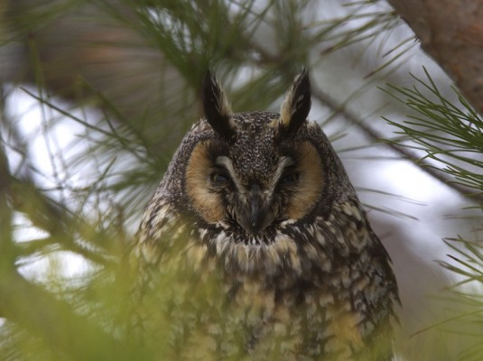Long-eared Owl, United States Tours, US Birding Tours, Caligo Ventures