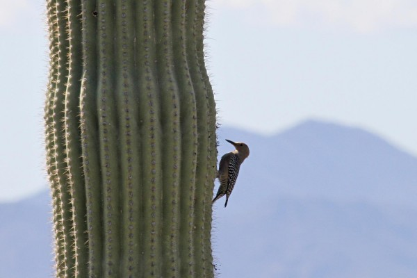 Saguaro Woodpecker, Arizona, Arizona Birding Tours, US Birding Tours, Caligo Ventures