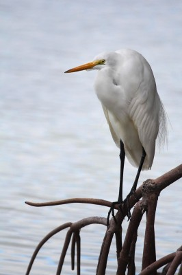 Great Egret, Trinidad, Trinidad and Tobago, Asa Wright Nature Centre, Caligo Ventures
