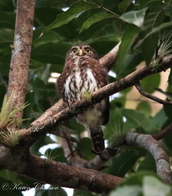 Feruginous Pygmy Owl, Trinidad, Trinidad and Tobago, Asa Wright Nature Centre, Caligo Ventures