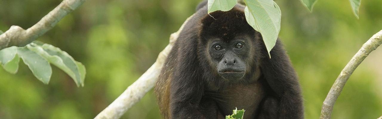 Black Howler Monkey, Panama, Caligo Ventures