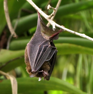 Bat, Trinidad, Trinidad and Tobago, Asa Wright Nature Centre, Caligo Ventures