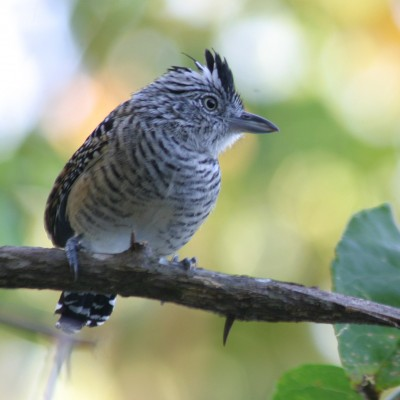 Barred Antshrike, Trinidad, Trinidad and Tobago, Asa Wright Nature Centre, Caligo Ventures