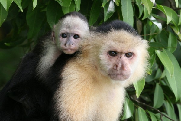 White-faced Capuchin Monkey, Panama, Caligo Ventures