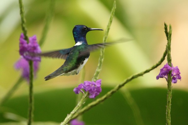White-necked Jacobin, Panama, Caligo Ventures