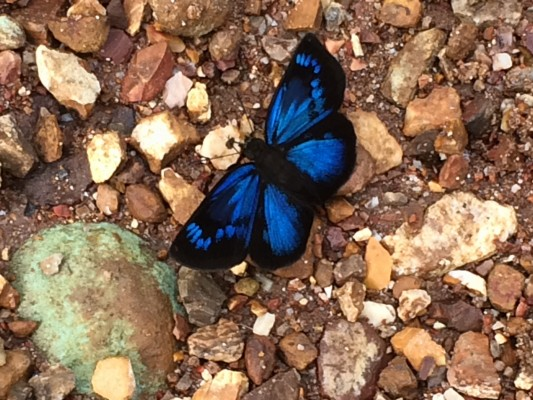 Blue Butterfly, Panama, Caligo Ventures