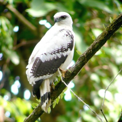 White Hawk, Honduras, Caligo Ventures