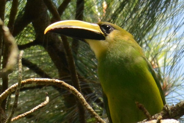 Toucanet, Honduras, Caligo Ventures
