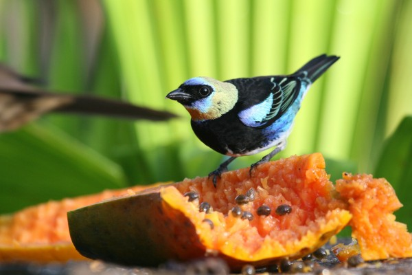 Golden-hooded Tanager, Costa Rica, Caligo Ventures