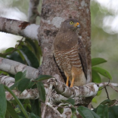 Roadside Hawk, Costa Rica, Caligo Ventures