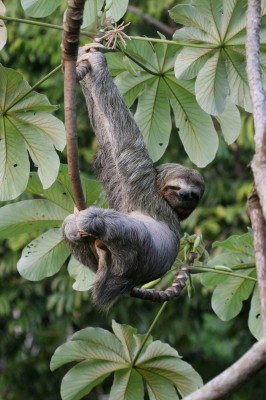 Three-toed Sloth, Costa Rica, Caligo Ventures