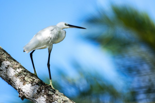 Little Egret, Trinidad, Asa Wright Nature Centre, Trinidad Birding Tour, Tobago Birding Tour, Caligo Ventures