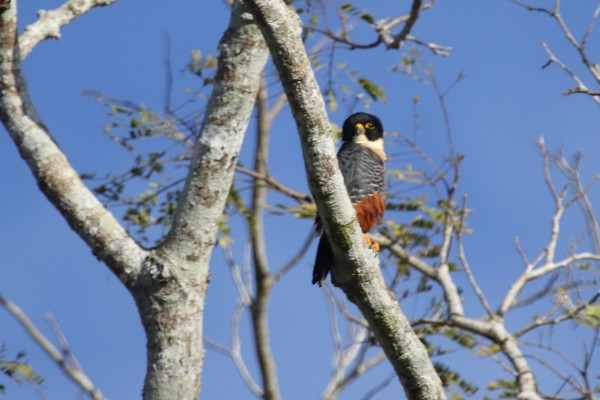 Bat Falcon, Belize, Caligo Ventures
