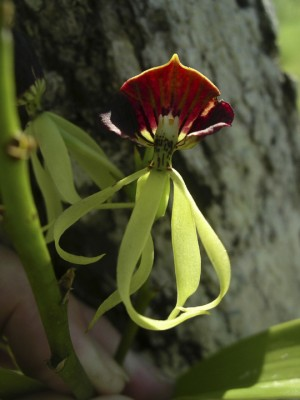 Orchid, Belize, Caligo Ventures