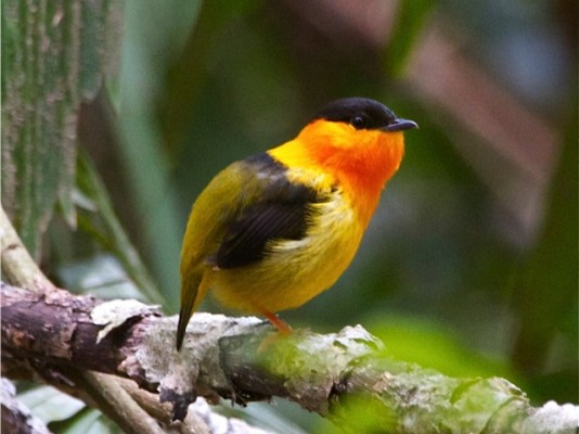 Orange-collared Manakin, Belize, Caligo Ventures