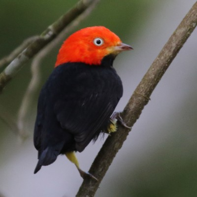 Red-capped Manakin, Belize, Caligo Ventures