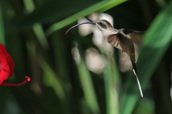 Long-billed Hermit, Belize, Caligo Ventures