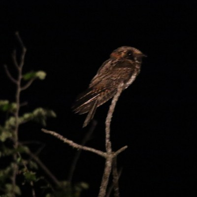 Yucatan Nightjar, Belize, Caligo Ventures