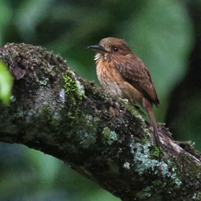 White-whiskered Puffbird, Belize, Caligo Ventures