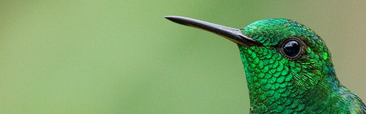 Copper-rumped Hummingbird, Trinidad, Trinidad Birding Tour, Caligo Ventures