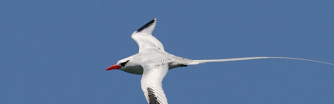 White-tailed Tropicbird, Trinidad, Trinidad and Tobago, Asa Wright Nature Centre, Caligo Ventures