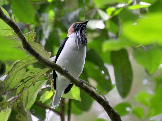 Bearded Bellbird, Trinidad, Trinidad Birding Tour, Trinidad Birdwatching Tour, Caligo Ventures