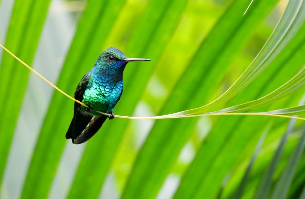 Blue-chinned Sapphire, Trinidad, Trinidad and Tobago, Asa Wright Nature Centre, Caligo Ventures