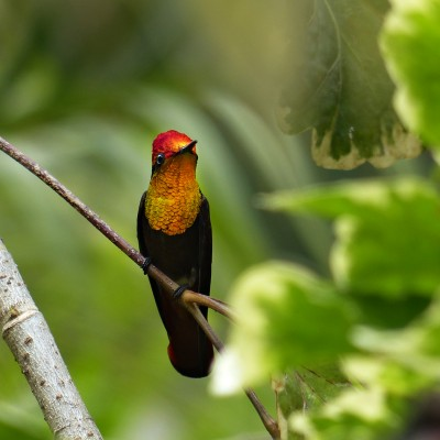 Ruby Topaz Hummingbird, Trinidad, Trinidad and Tobago, Asa Wright Nature Centre, Caligo Ventures