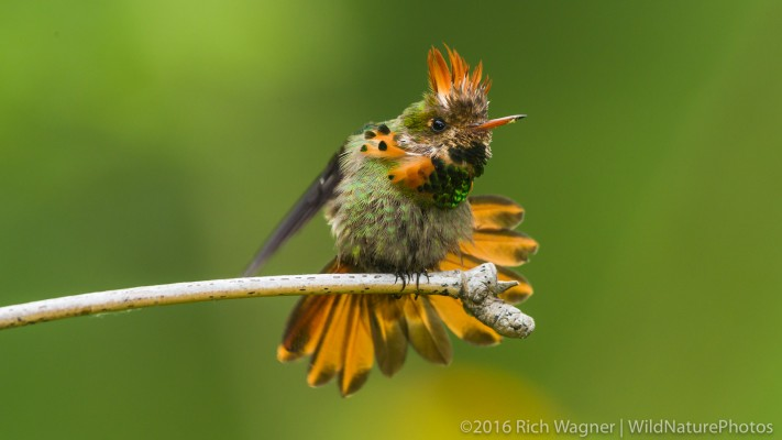 Tufted Coquette, Trinidad, Trinidad and Tobago, Asa Wright Nature Centre, Caligo Ventures