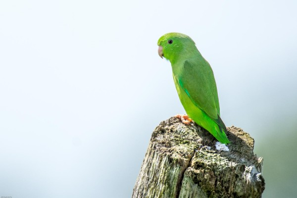 Green-rumped Parrotlet, Trinidad, Trinidad and Tobago, Asa Wright Nature Centre, Caligo Ventures