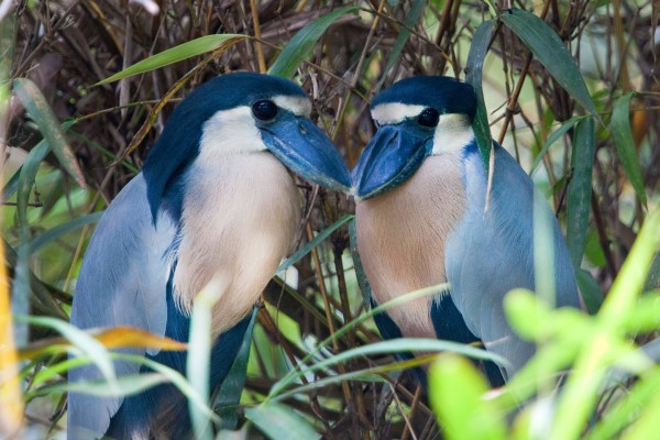 Boat-billed Heron, Trinidad, Trinidad and Tobago, Asa Wright Nature Centre, Caligo Ventures