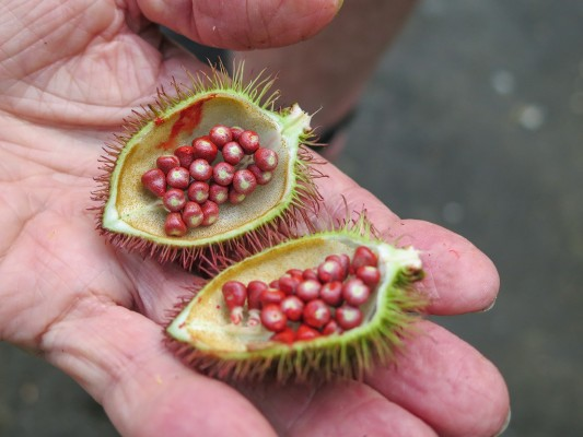 Achiote Seed Pods, Trinidad, Trinidad and Tobago, Asa Wright Nature Centre, Caligo Ventures
