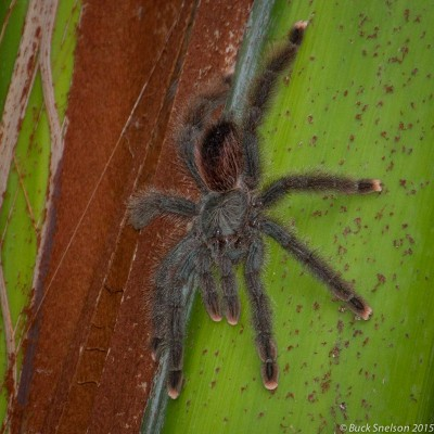Pink-toed Tarantula, Trinidad, Trinidad and Tobago, Asa Wright Nature Centre, Caligo Ventures