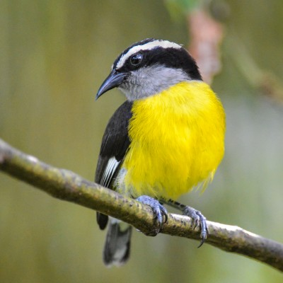 Bananaquit, Trinidad, Trinidad and Tobago, Asa Wright Nature Centre, Caligo Ventures
