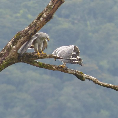 Grey Hawk, Trinidad, Trinidad and Tobago, Asa Wright Nature Centre, Caligo Ventures