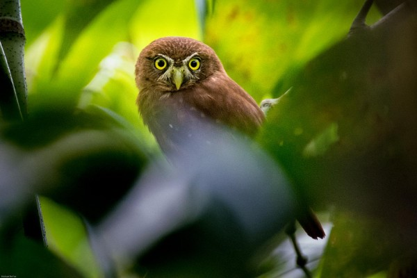 Ferruginous Pygmy Owl, Trinidad, Trinidad and Tobago, Asa Wright Nature Centre, Caligo Ventures