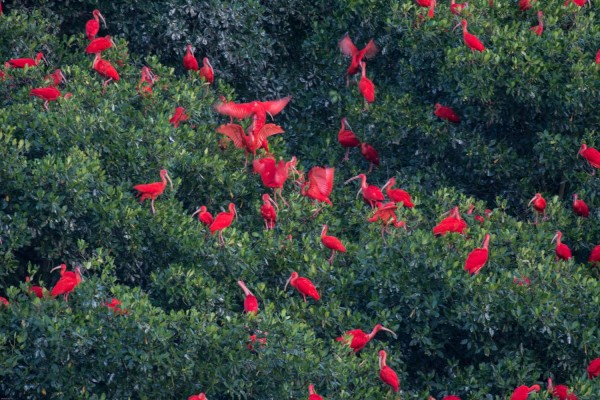 Scarlet Ibis, Caroni Swamp, Trinidad, Trinidad and Tobago, Asa Wright Nature Centre, Caligo Ventures