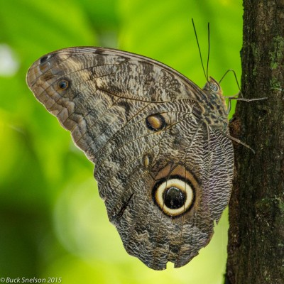 Owl Butterfly, Trinidad, Trinidad and Tobago, Asa Wright Nature Centre, Caligo Ventures