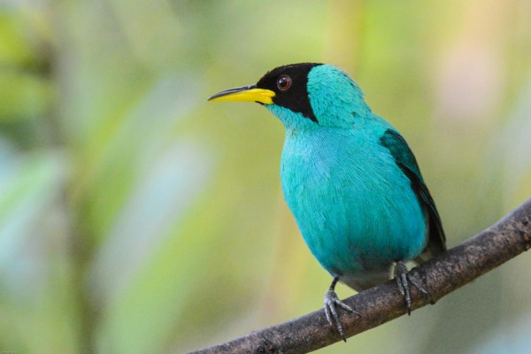 Green Honeycreeper, Trinidad, Trinidad and Tobago, Asa Wright Nature Centre, Caligo Ventures
