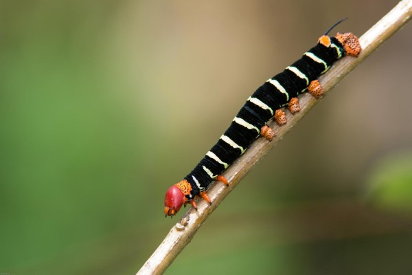Caterpillar, Trinidad, Trinidad and Tobago, Asa Wright Nature Centre, Caligo Ventures