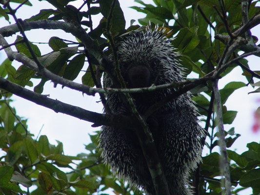 Porcupine, Trinidad, Trinidad and Tobago, Asa Wright Nature Centre, Caligo Ventures