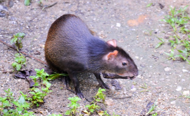 Agouti, Trinidad, Trinidad and Tobago, Asa Wright Nature Centre, Caligo Ventures