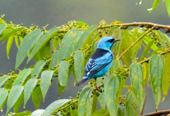 Blue Dacnis, Trinidad, Trinidad and Tobago, Asa Wright Nature Centre, Caligo Ventures