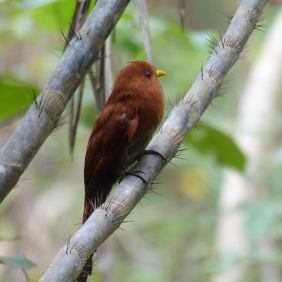 Little Cuckoo, Trinidad, Trinidad and Tobago, Asa Wright Nature Centre, Caligo Ventures