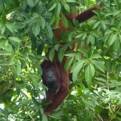 Red Howler Monkey, Trinidad, Trinidad and Tobago, Asa Wright Nature Centre, Bush Bush Preserve, Caligo Ventures