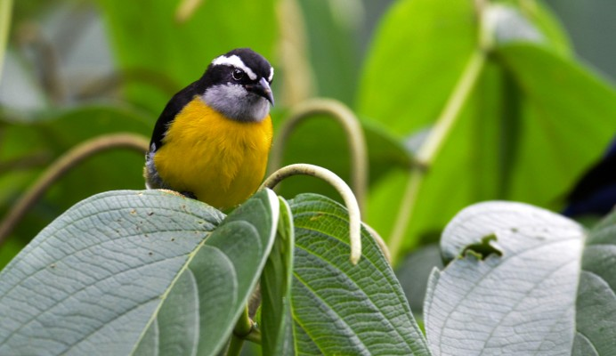 Bananaquit, Trinidad, Trinidad and Tobago, Asa Wright Nature Centre, Caligo Ventures, Trinidad Birding Tour